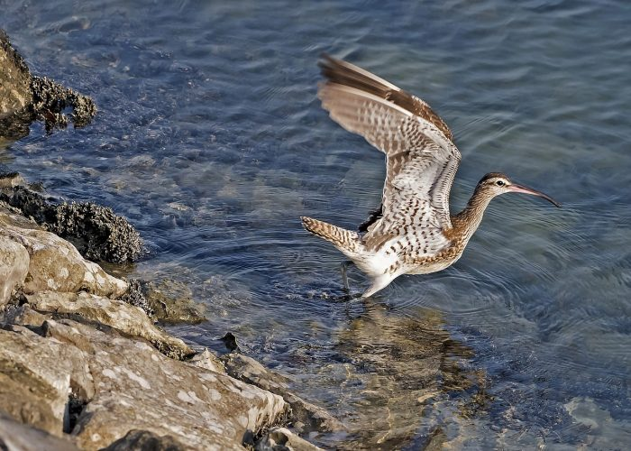 long-billed-curlew-1650116_1280